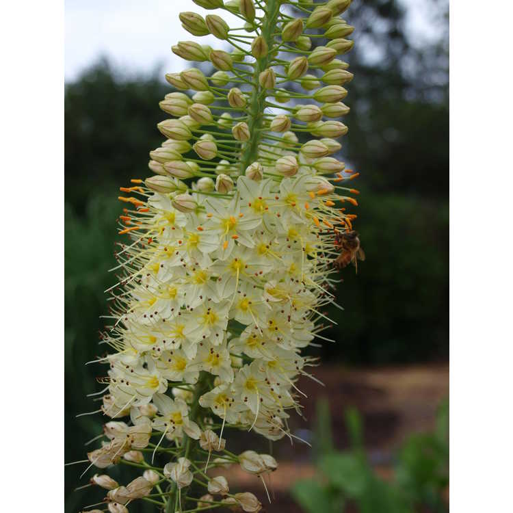 Eremurus Lemon Meringue