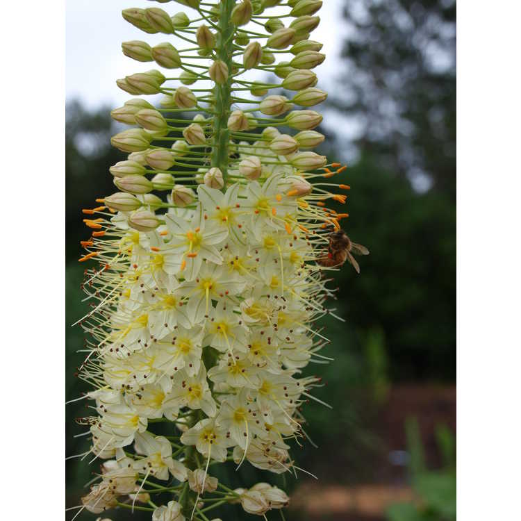 Eremurus 'Lemon Meringue'