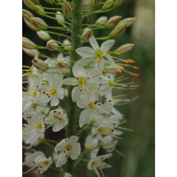 Eremurus 'Lemon Meringue' - foxtail lily