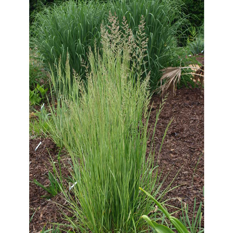 Calamagrostis ×acutiflora 'Avalanche' - variegated feather reed grass