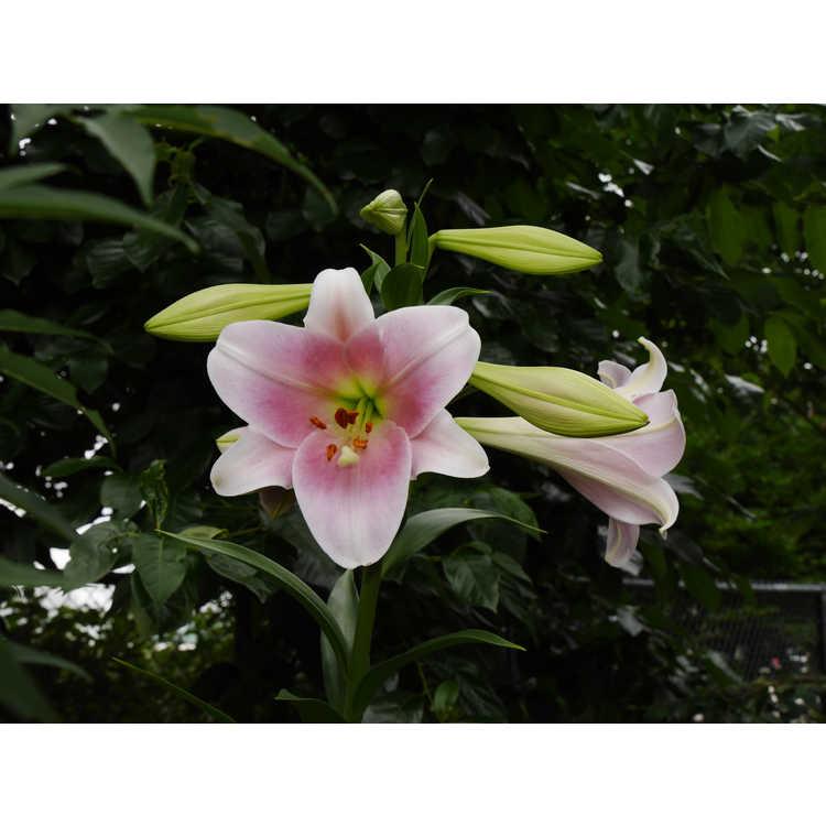 Lilium Pink Heaven