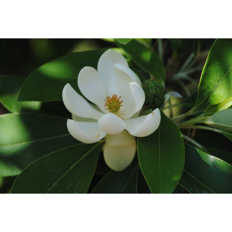 Magnolia virginiana var. australis 'Green Shadow' - evergreen sweet bay magnolia
