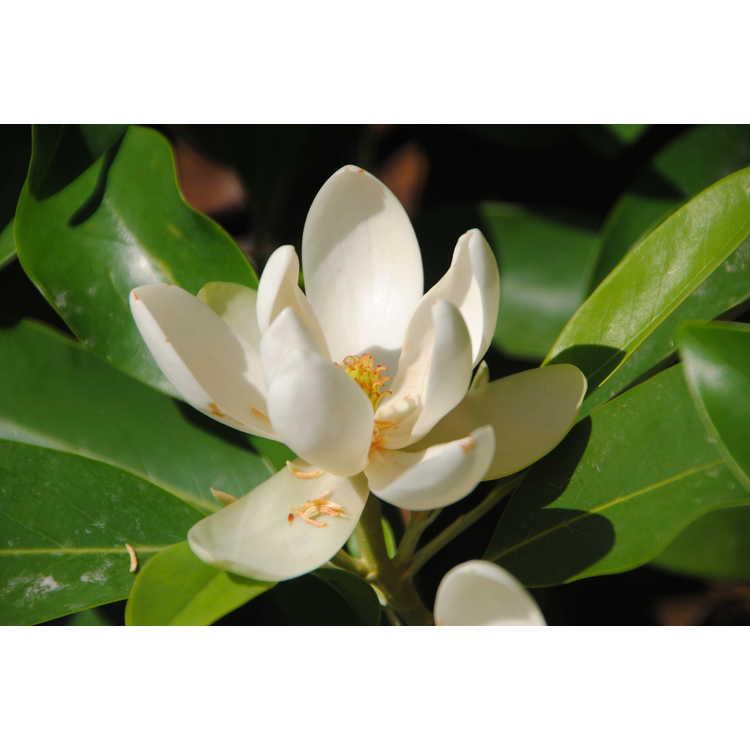 Magnolia virginiana australis Green Shadow