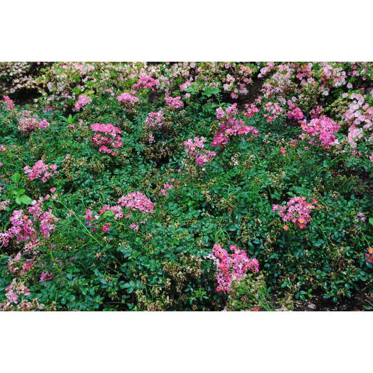 Rosa 'Meijocos' - Pink Drift shrub rose