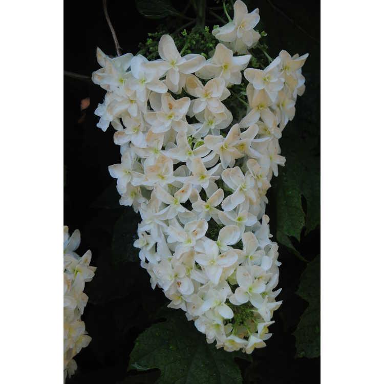 Hydrangea quercifolia 'Brido'