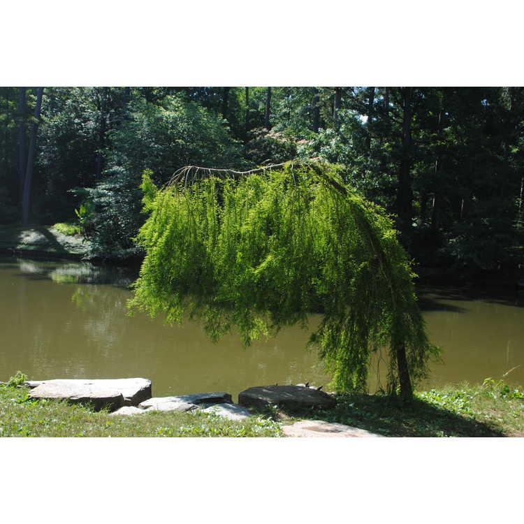 Taxodium distichum 'Fallingwater'