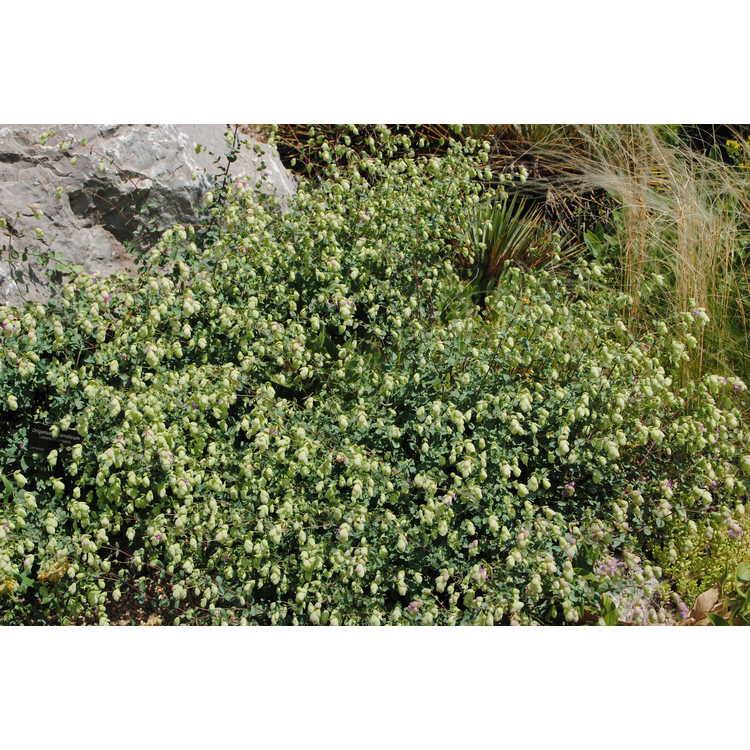 Origanum libanoticum