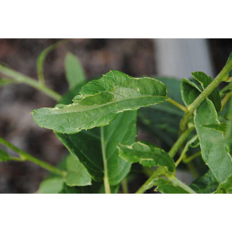 Actinidia arguta (variegated)