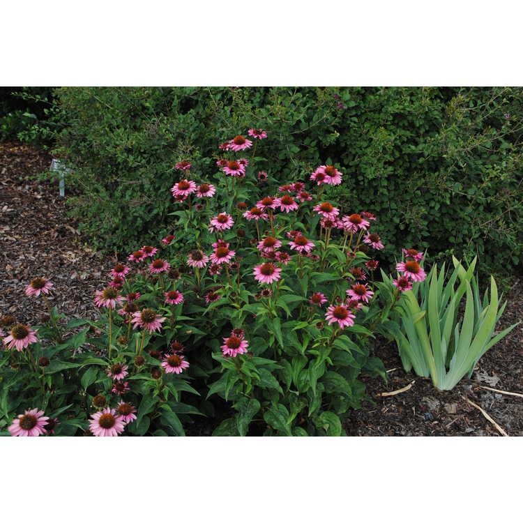 Echinacea Gemini Pink