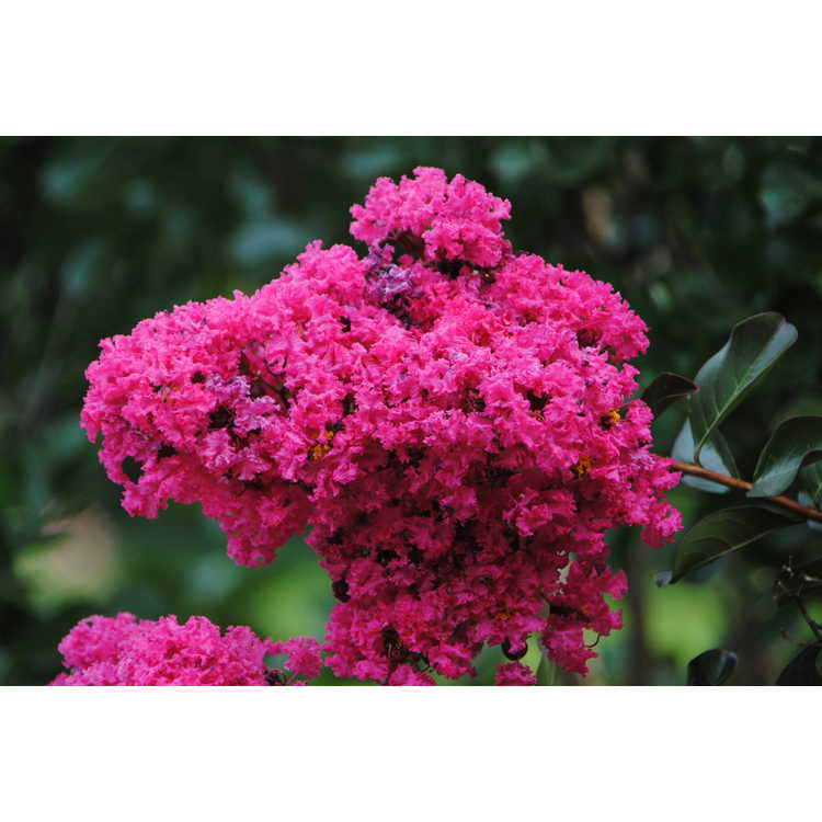 Lagerstroemia indica Whit III Pink Velour