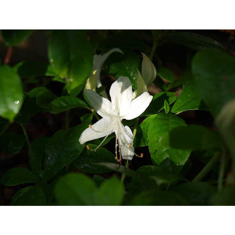 Rhododendron 'June Jubilee' - Aromi hybrid azalea