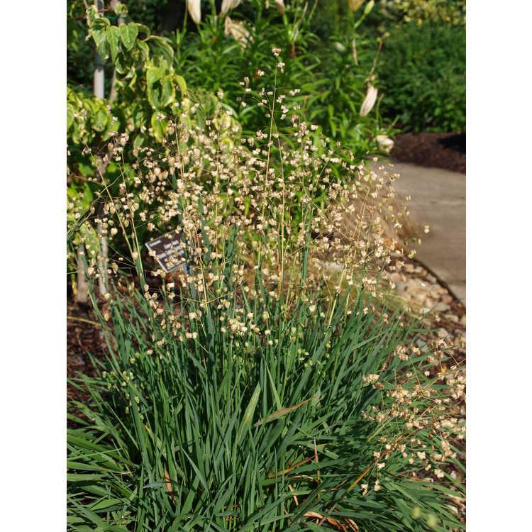 Briza media - perennial quakinggrass