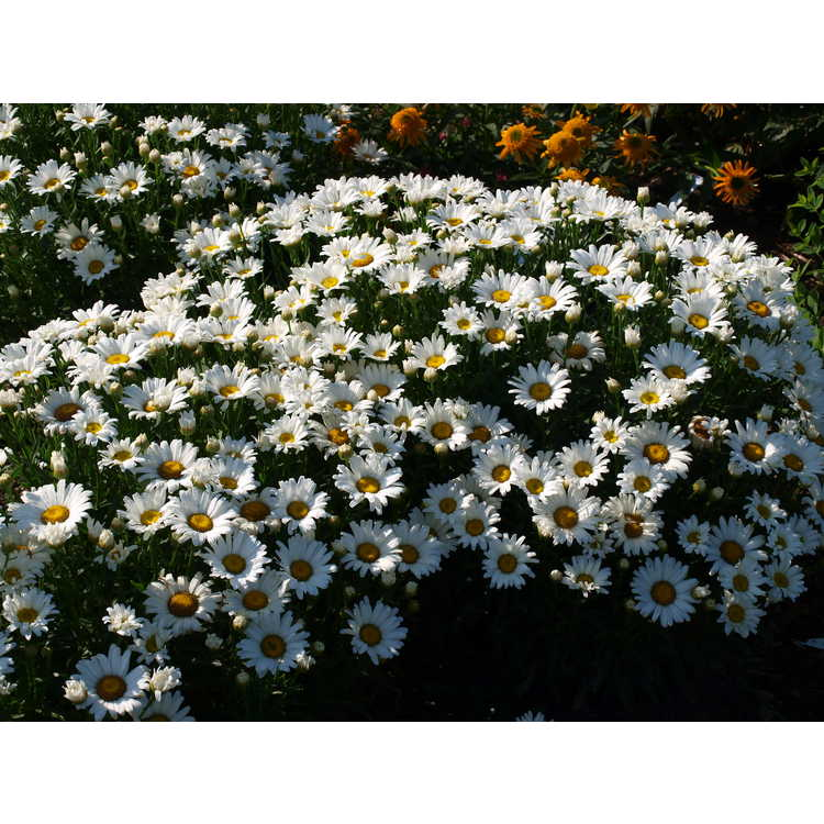 Leucanthemum superbum Daisy Duke Daisy May