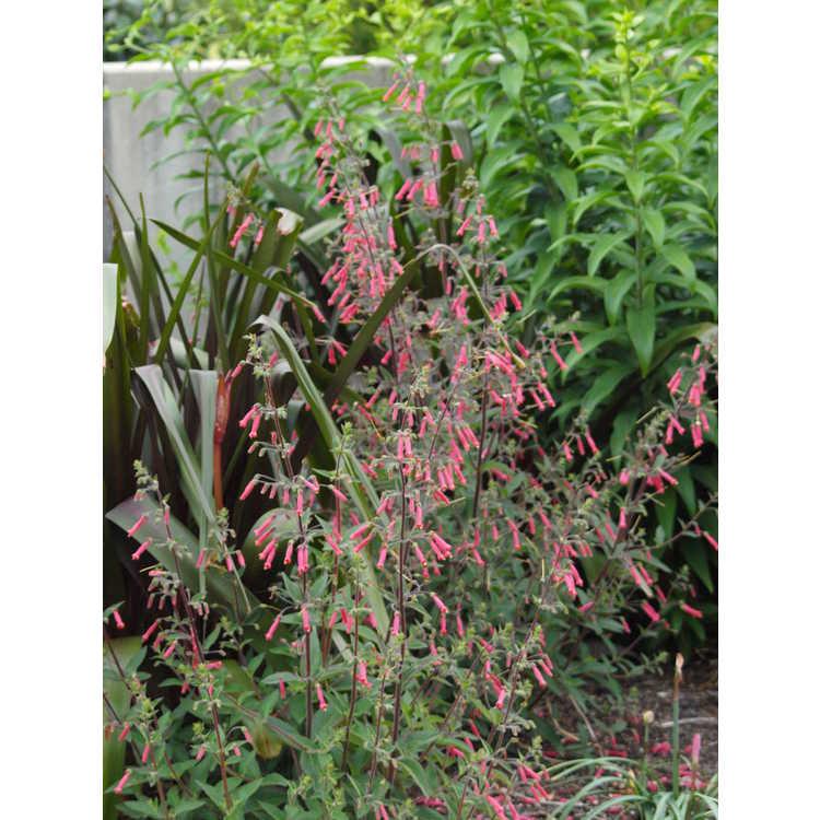 Sinningia 'Scarlet O'Hara' - red hardy gloxinia