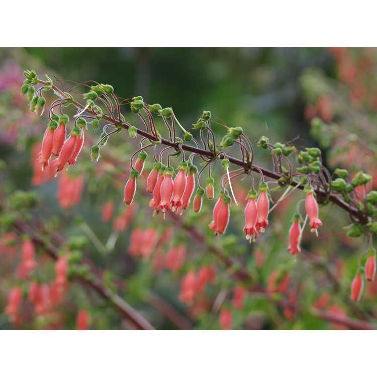 Sinningia sellovii - hardy red gloxinia
