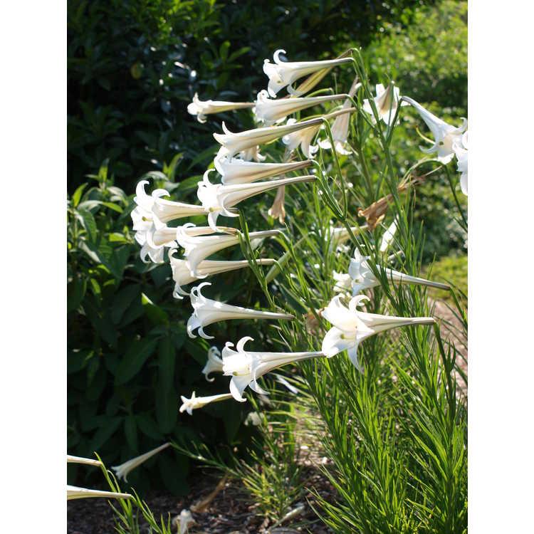 Lilium formosanum var. pricei