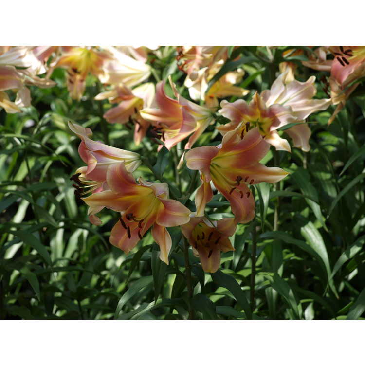 Lilium 'Satisfaction' - hybrid lily