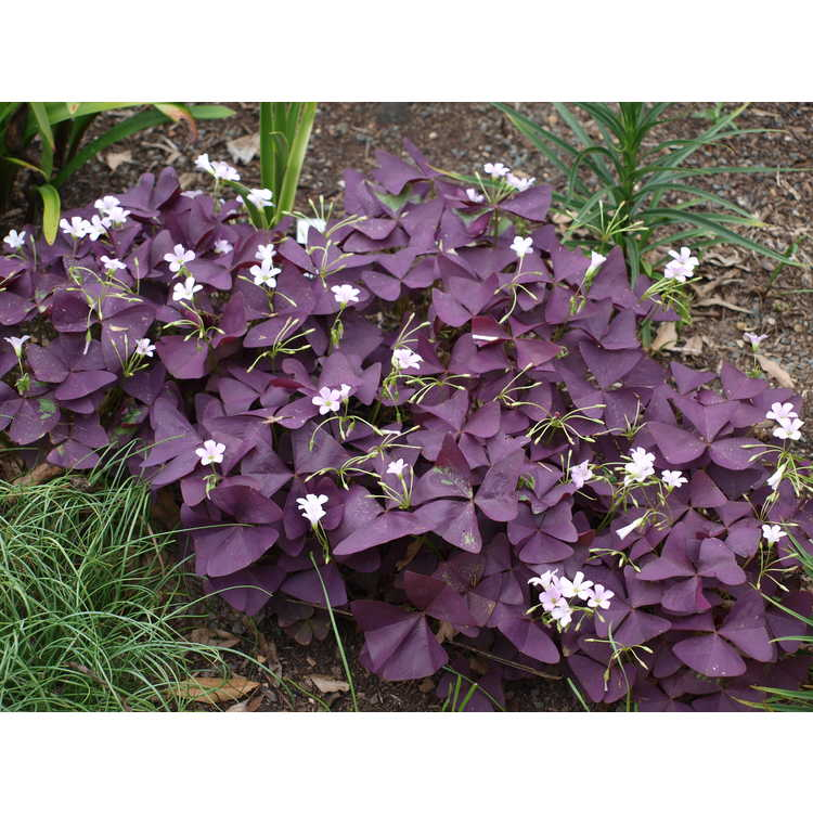 Oxalis triangularis 'Mijke'