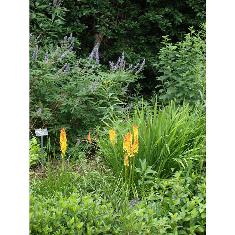 Kniphofia 'Parmentier' - red-hot poker