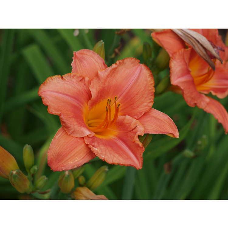 Hemerocallis 'South Seas' - daylily