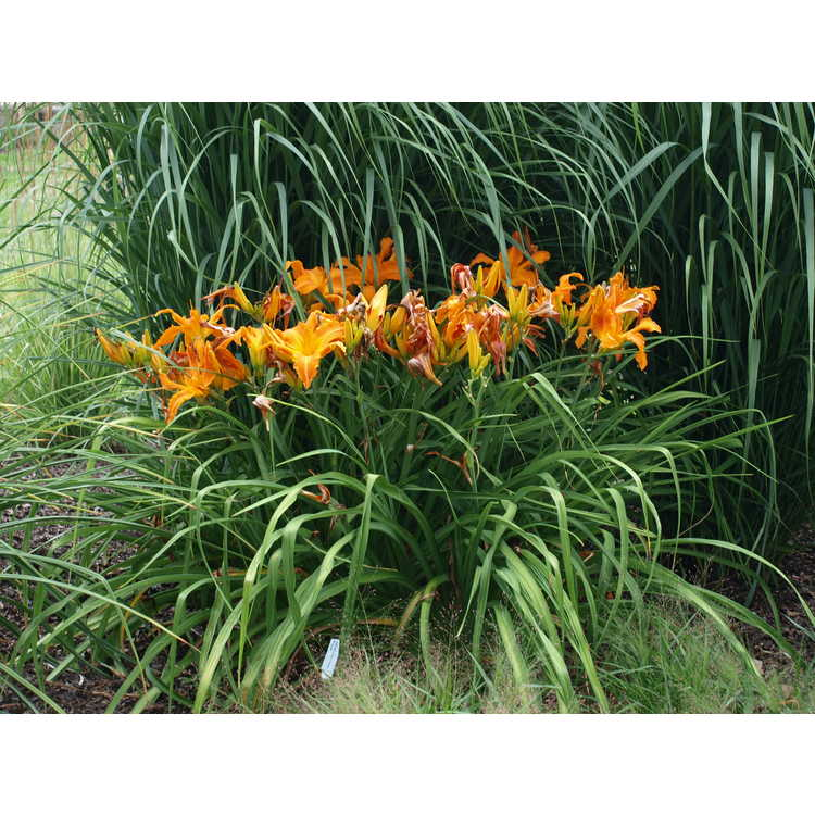 Hemerocallis 'Primal Scream' - hybrid daylily