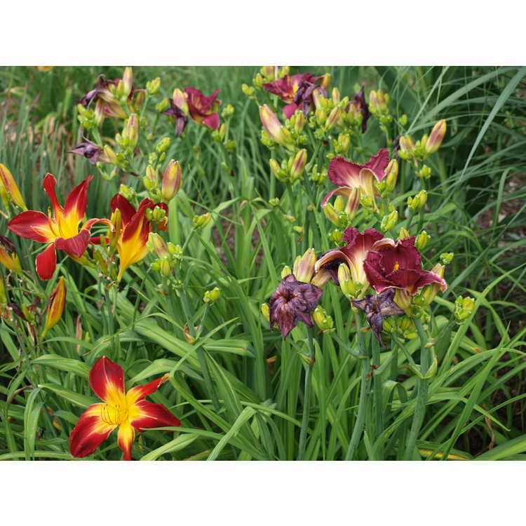 Hemerocallis 'Ruby Spider'