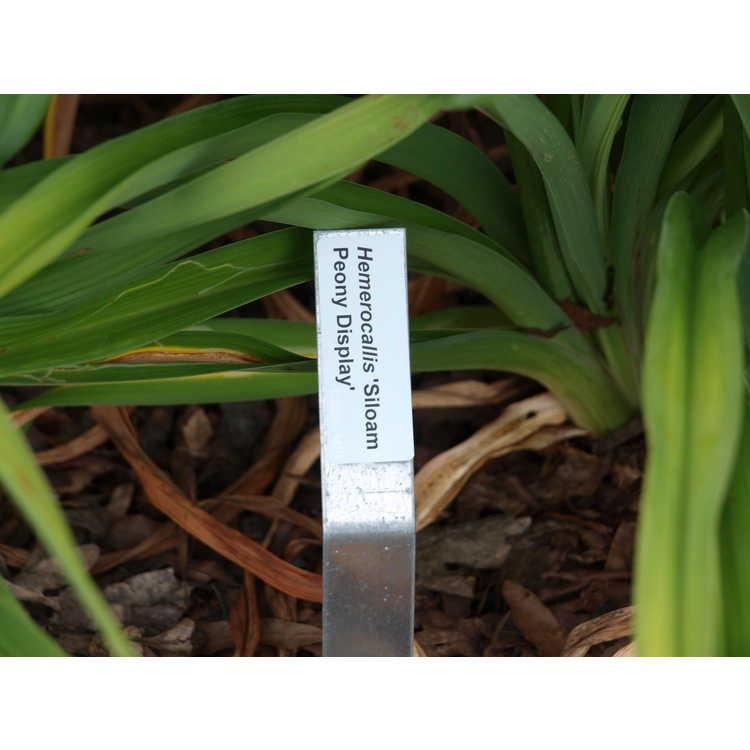 Hemerocallis 'Siloam Peony Display' - Siloam Peony Display hybrid daylily