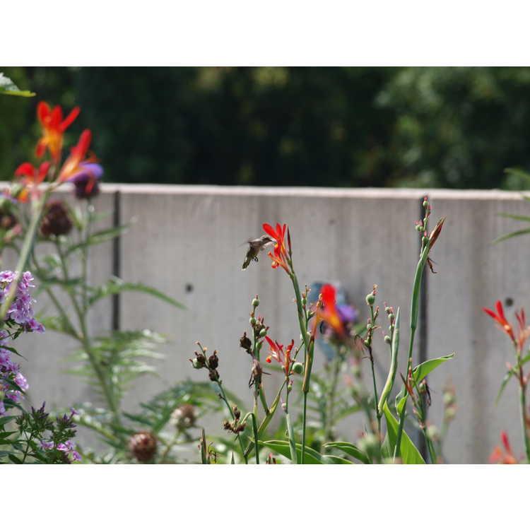 Canna patens - canna lily