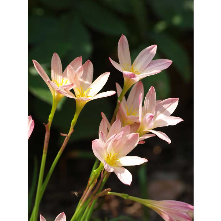 Zephyranthes (Sunset Strain) - sunset rain-lily