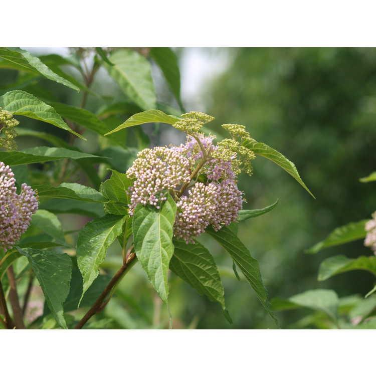 Callicarpa oshimensis