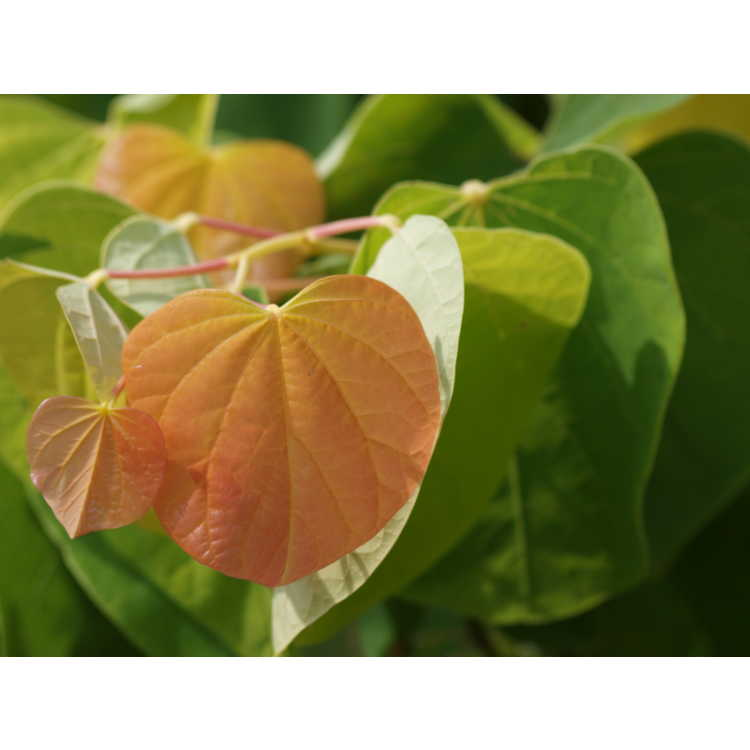 Cercis canadensis 'Jn2' - The Rising Sun gold-leaf eastern redbud