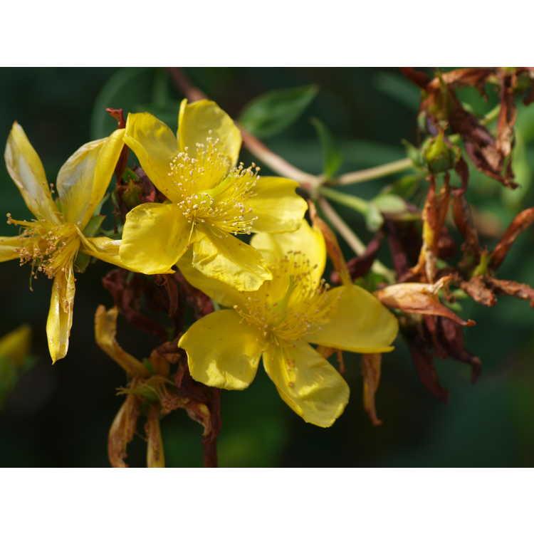 Hypericum pseudohenryi - shrubby St. Johnswort