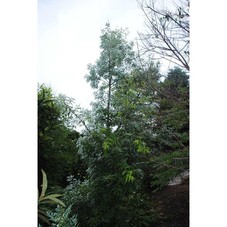 Quercus salicina