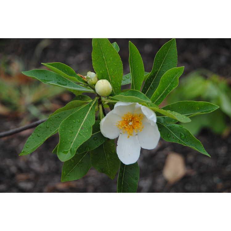 ×Gordlinia grandiflora 'Sweet Tea'
