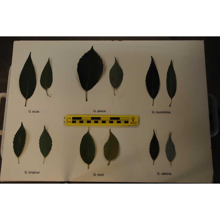 Quercus longinux