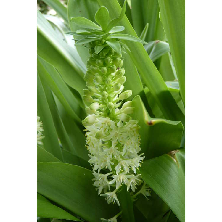 Eucomis 'Tugela Jade' - hybrid pineapple lily