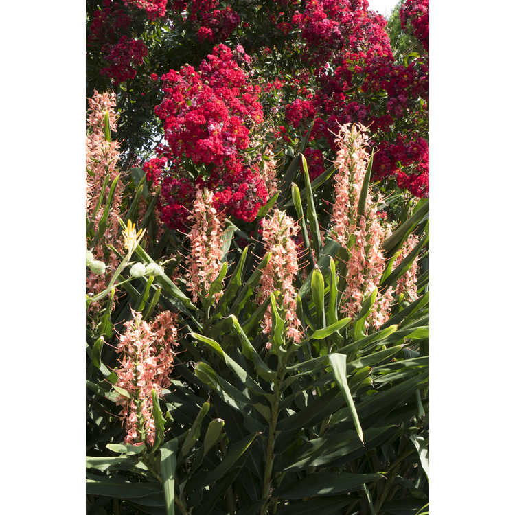 Hedychium coccineum 'Disney' - red ginger-lily