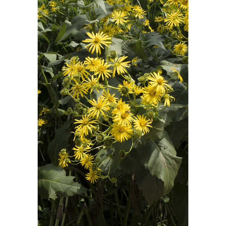 Silphium perfoliatum - cup plant