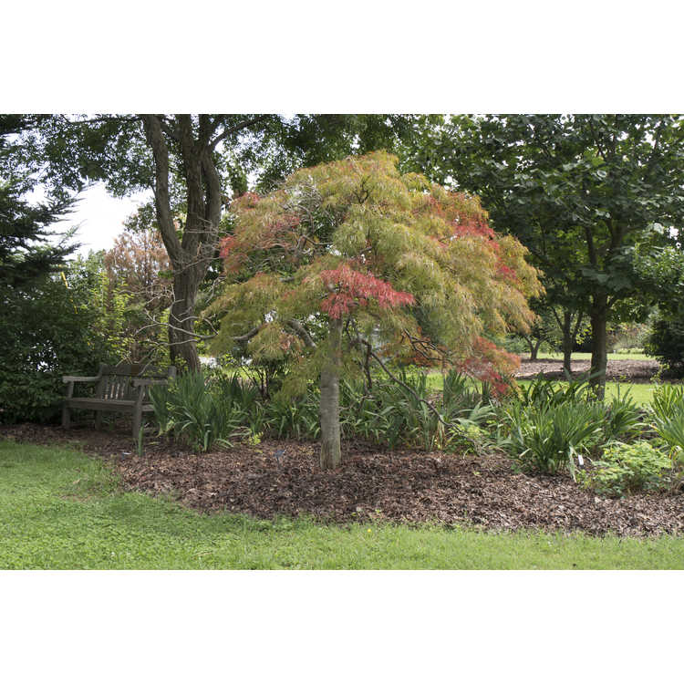 Acer palmatum Dissectum Atropurpureum Group - red lace-leaf Japanese maple