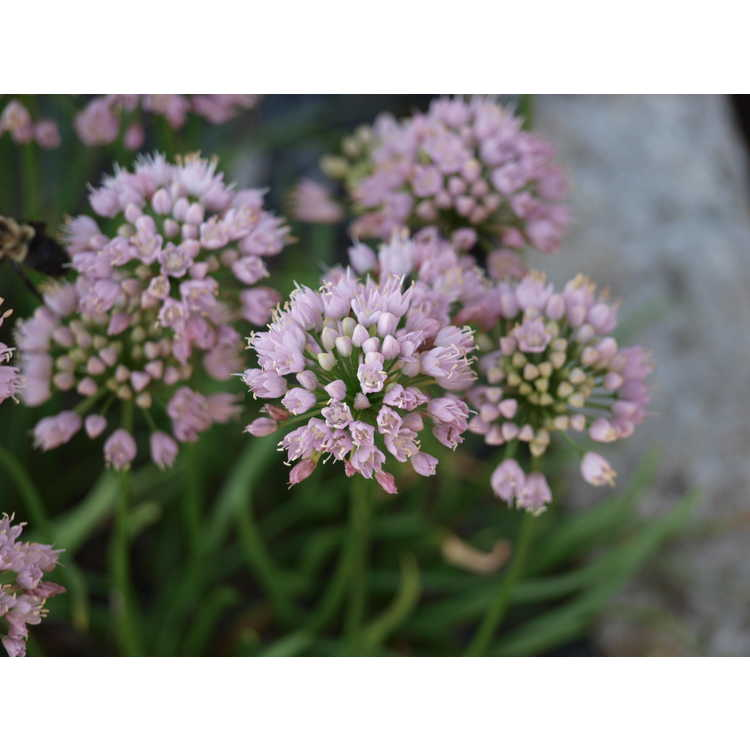Allium 'Sugar Melt' - ornamental onion