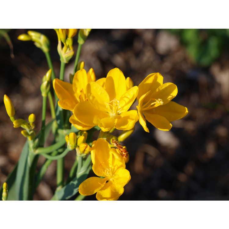 Belamcanda chinensis Hello Yellow