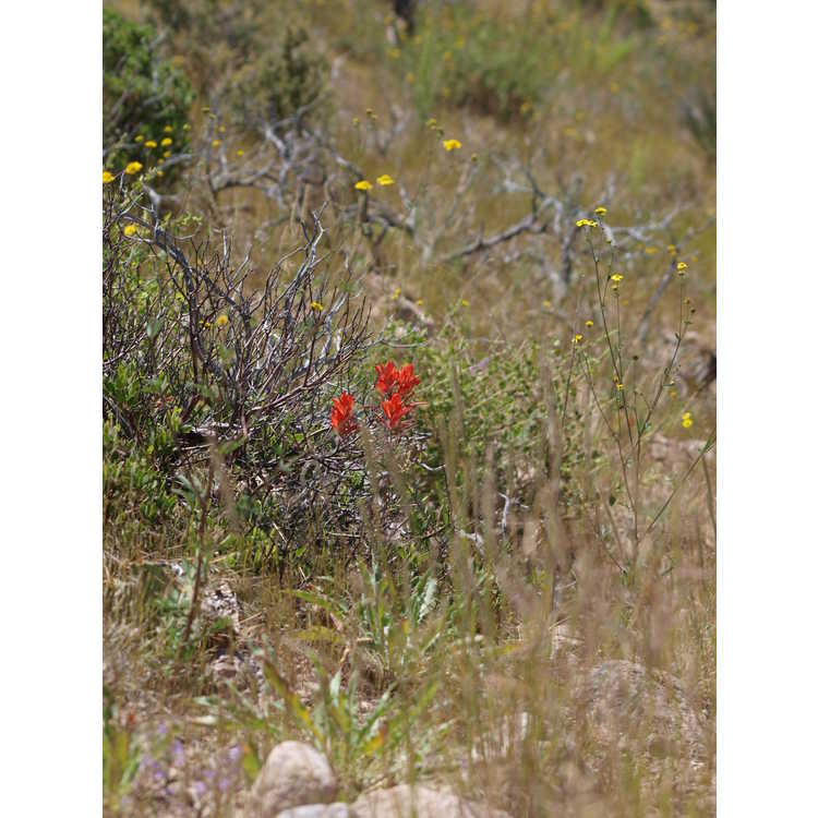 Castilleja integra - squawfeather