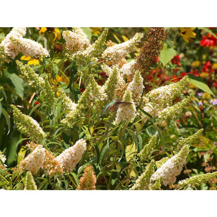 Buddleja davidii - butterfly-bush