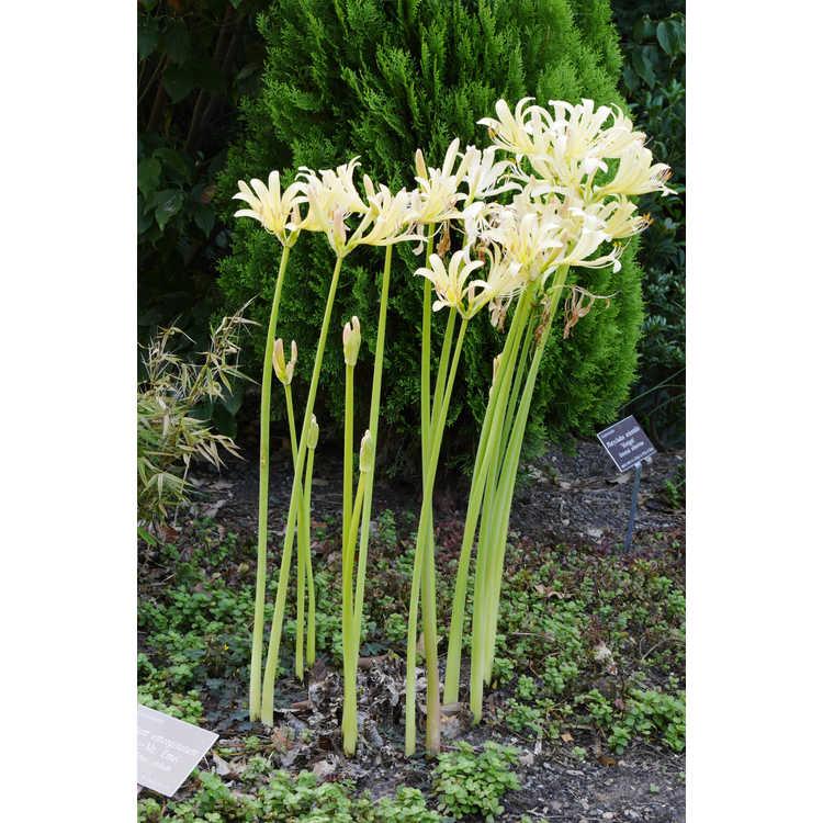 Lycoris anhuiensis