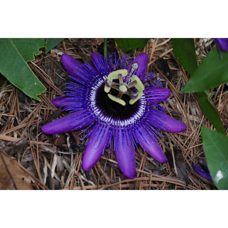 Passiflora 'Monika Fischer' - hybrid passion flower