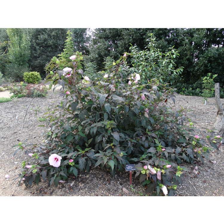 Hibiscus 'Summer Storm' - hybrid hibiscus