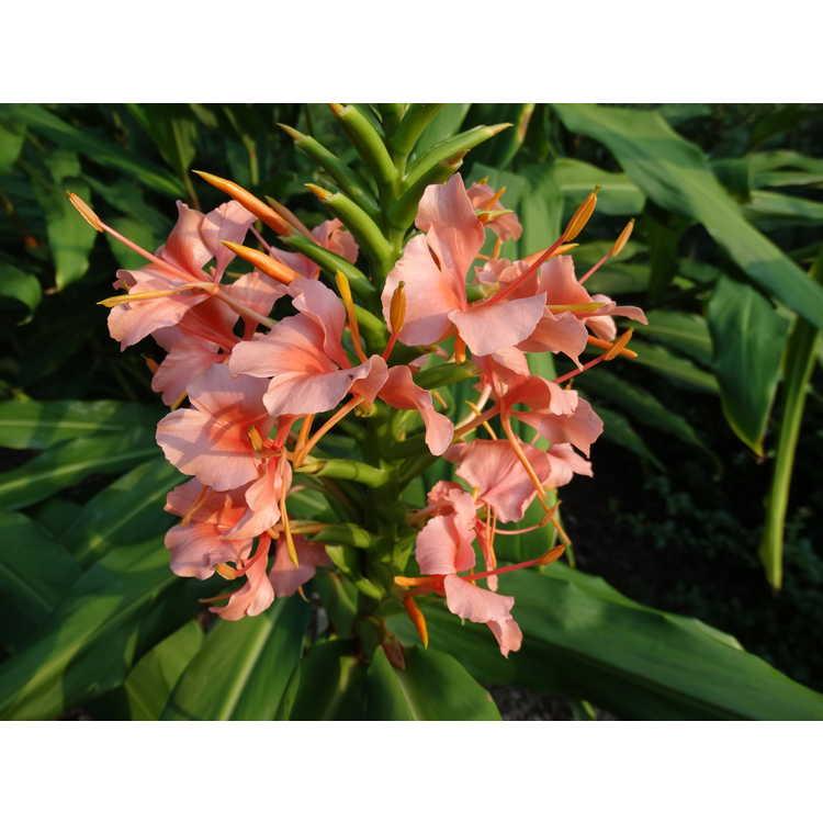 Hedychium 'Elizabeth' - hardy ginger-lily