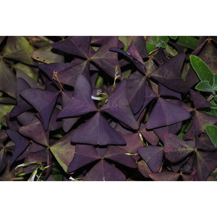 Oxalis triangularis 'Mijke' - purple shamrock