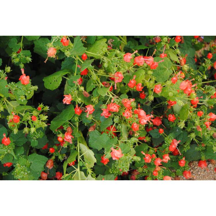 Malvaviscus arboreus drummondii