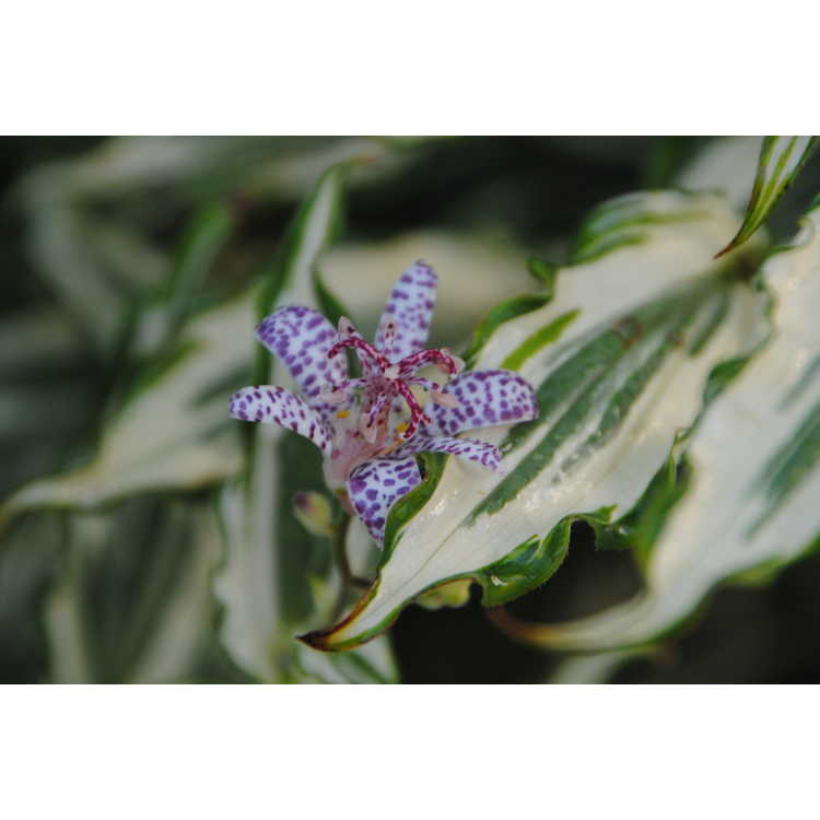 Tricyrtis 'Imperial Banner' - variegated toad-lily